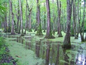 cypress-swamp-natchez-ms